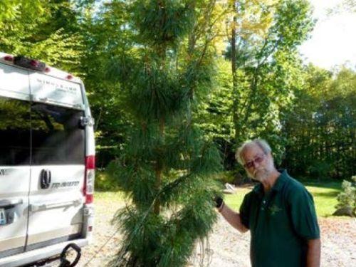 Michael Keller moves a large conifer for its transplant