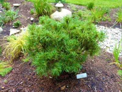 Pinus strobus 'Tiny Kurls' (Tiny Kurls eastern white pine)