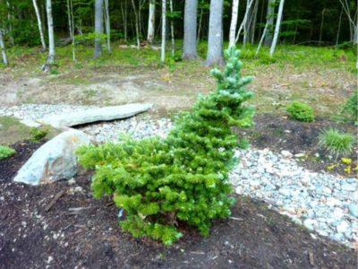 Picea orientalis 'Tom Thumb Gold' (Tom Thumb gold Caucasian spruce)