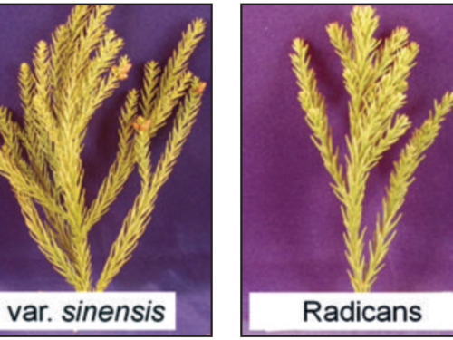 'Radicans' and var. sinensis do undergo somewhat of a color change, but have amuch better winter presentation