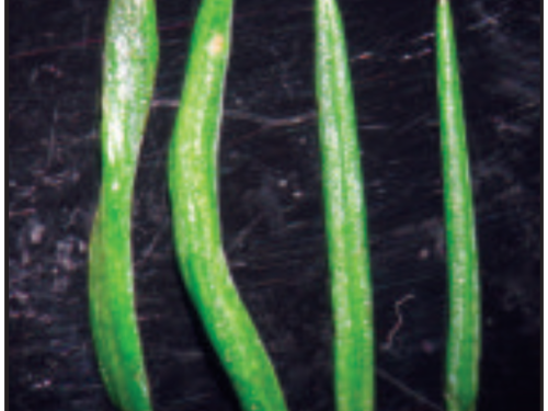 Two leaves of induced tetraploid (left) developed at the University of Georgia Tifton Campus and diploid (right) Japanese cedar with wild-type leaves