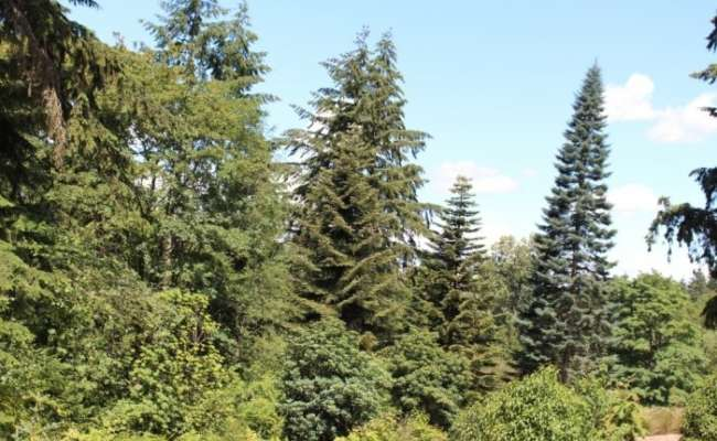Coniferous Contemplations - June 2016