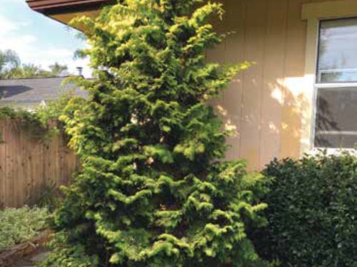 The conifer, Limerick Hinoki False Cypress (Chamaecyparis obtusa 'Limerick') before pruning. The tree is growing into the eave of the house and the pathway. The scale of this tree needs to be both practical and aesthetic