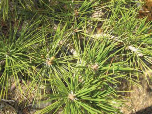 The conifer, Thunderhead Japanese black pine (Pinus thunbergii 'Thunderhead') bud production after candling