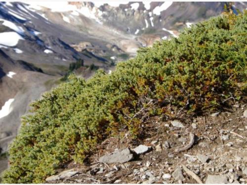 Another allergy-friendly evergreen, the common juniper (Juniperus communis)