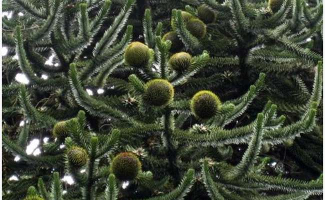 Conifers: Allergy-Friendly Evergreen Trees