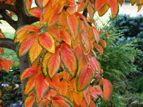 A Stewartia koreana tree (Stewartia koreana)