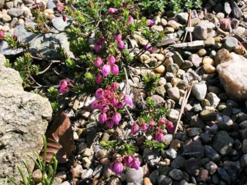 The dwarf shrub, blue mountain heath (Phyllodoce caerulea)