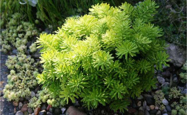 Conifers and Companion Planting