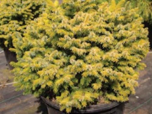 The conifer, 'Peve Tijn' Serbian spruce (Pinus omorika 'Peve Tijn')