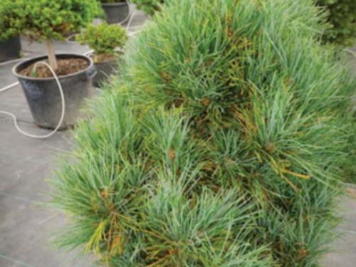 The conifer, 'Arnold's Dwarf' Macedonian pine (Pinus peuce 'Arnold Dwarf')