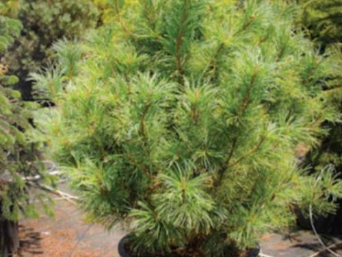 The conifer, dwarf Siberian pine (Pinus pumila 'Glauca')