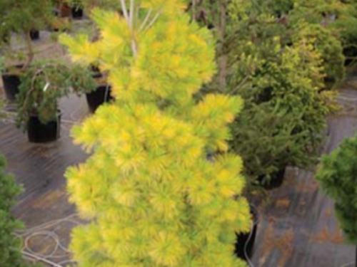 The conifer, 'Louie' white pine (Pinus strobus 'Louie')