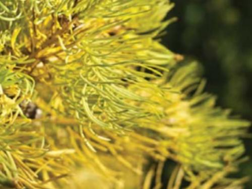 The conifer, 'Wintergold' white fir (Abies concolor 'Wintergold')