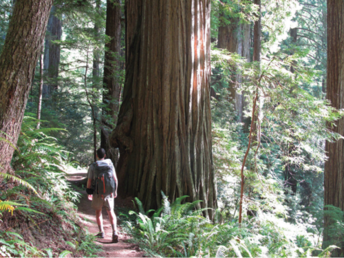 The final segments of the Bigfoot Trail pass through Jedediah Smith Redwoods State Park, here in the Stout Grove. Seen here is Ian Nelson walking among the redwoods