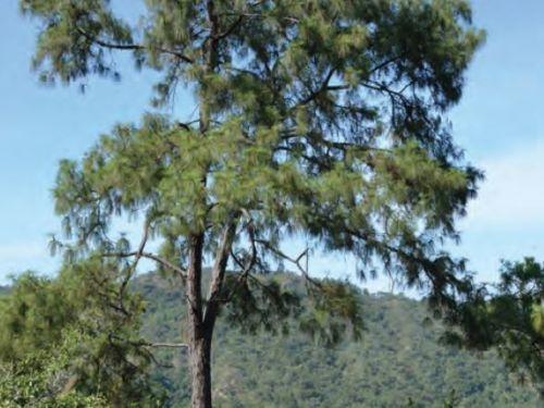 A wide shot of the conifer, Pinus vallartensis (Vallarta pine)