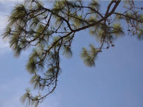 A canopy shot of the conifer, Pinus vallartensis (Vallarta pine)