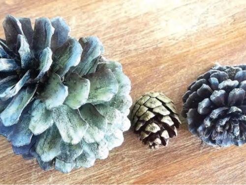 The conifer cones of Pinus miximinoi (Maximo's pine) from Puerto Vallarta, Mexico