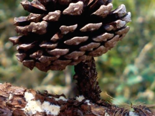 The cone of Pinus oocarpa (Mexican yellow pine) in Puerto Vallarta, Mexico