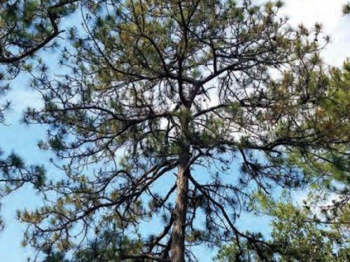 The conifer, Pinus maximinoi (Maximo's pine) in the mountains of Puerto Vallarta, Mexico