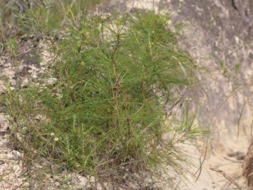 Another shot of the conifer, Pinus vallartensis (Vallarta pine)