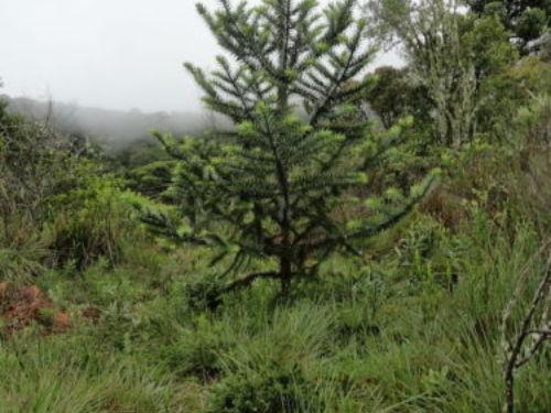 The conifer, Araucaria angustifolia (Paraná pine)