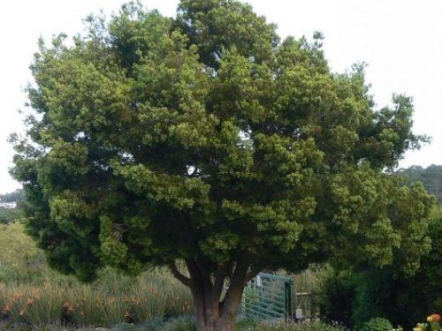The conifer, Afrocarpus falcatus (Outeniqua yellow-wood)