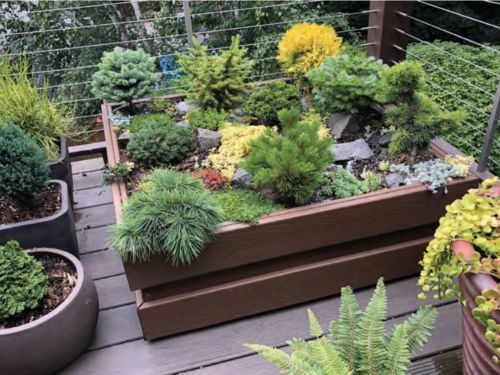 Boxed-up conifers in containers on a deck