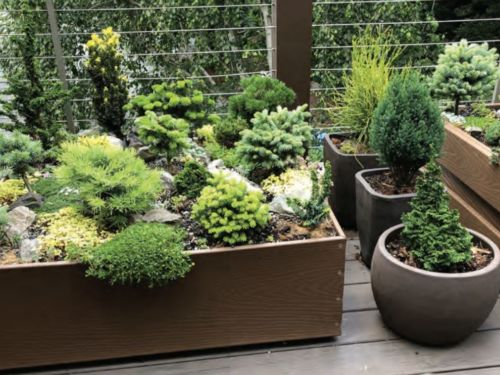 A close up of conifers in garden containers