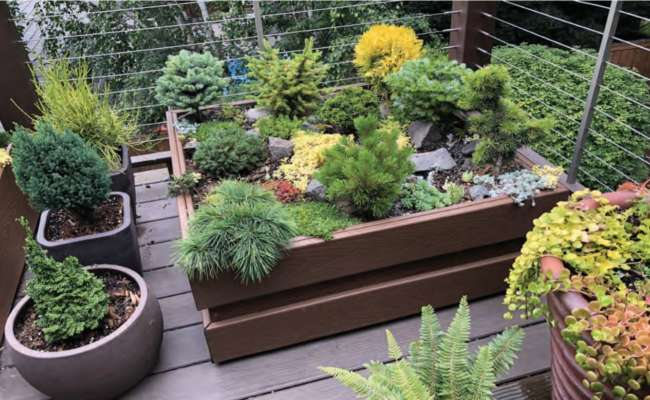 Container Gardening with Conifers