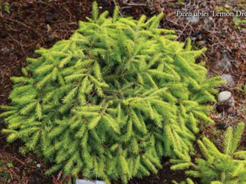 The conifer, Lemon Drop Norway Spruce (Picea abies 'Lemon Drop')