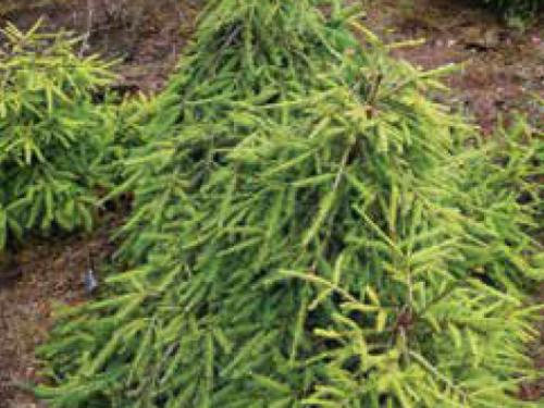 The conifer, Dandylion Norway Spruce (Picea abies 'Dandylion')