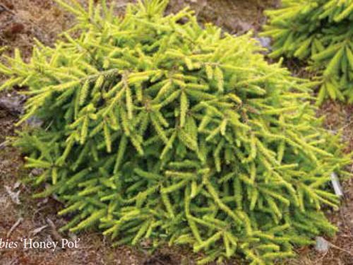 The conifer, Honey Pot Norway Spruce (Picea abies 'Honey Pot')