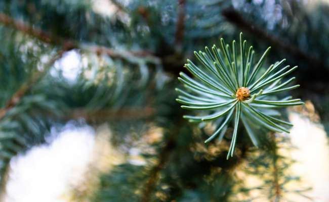 How to Create your Own Conifer Varieties