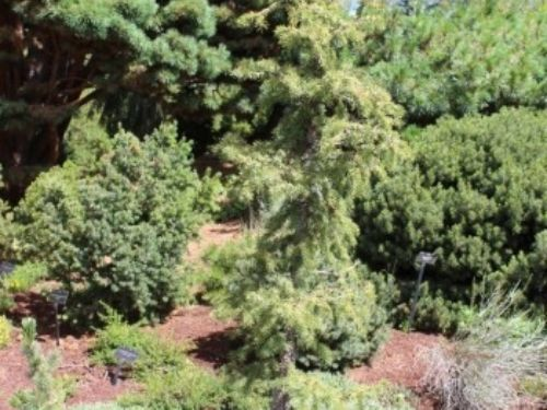 Some of the special conifers in the Dwarf Conifer berm at Denver Botanic Gardens.