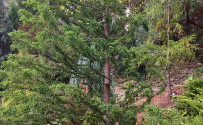 Discovering Conifer Cultivars