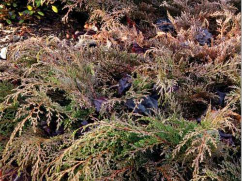 The conifer, Siberian cypress (Microbiota decussata) in winter color