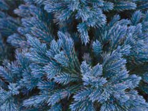 The conifer, Juniperus squamata 'Blue Star'