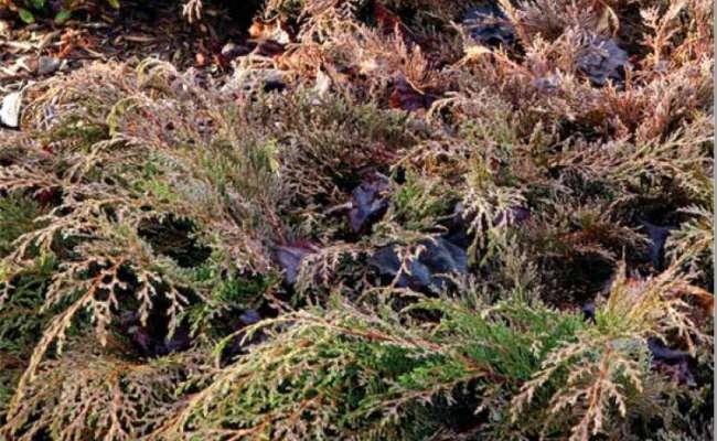 Drought-Resistant Conifers
