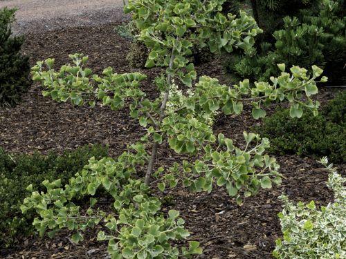 A conifer cousin, Ginkgo biloba 'Jade Butterflies'
