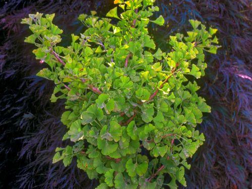 A conifer cousin, the Ginkgo biloba 'Spring Grove.' Photo credit Harold Greer of Greer Nurseries
