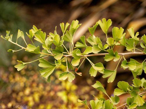 A conifer cousin, Ginkgo biloba 'Tubifolia.' Photo by Janice M. LeCocq