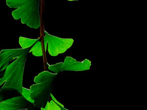 Ginkgo leaves in summer