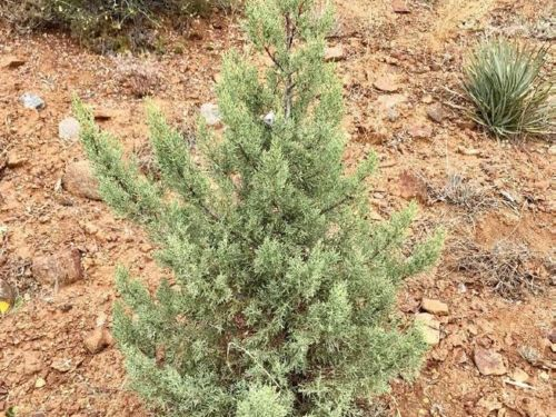 The elusive conifer Cupressus nevadensis (Paiute cypress)