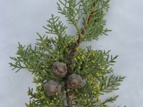 The conifer Cupressus nevadensis' (Paiute Cypress) cones and foliage
