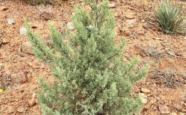Endangered Conifers: Cupressus nevadensis
