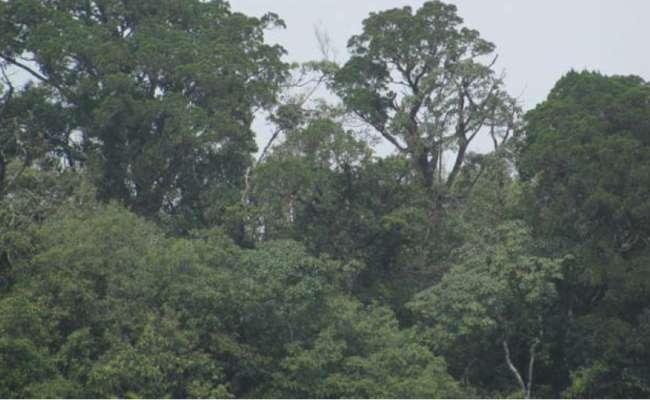 The Endangered Vietnamese Golden Cypress