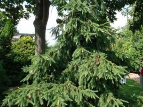 The conifer, Norway Spruce (Picea abies 'Acrocona')