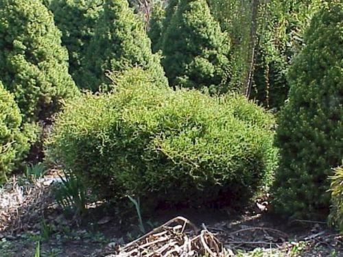 The conifer, Dwarf Eastern Arborvitae (Thuja occidentalis 'Linesville')