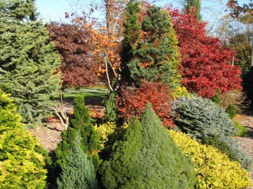 Maples ablaze with fall color in the Feller garden